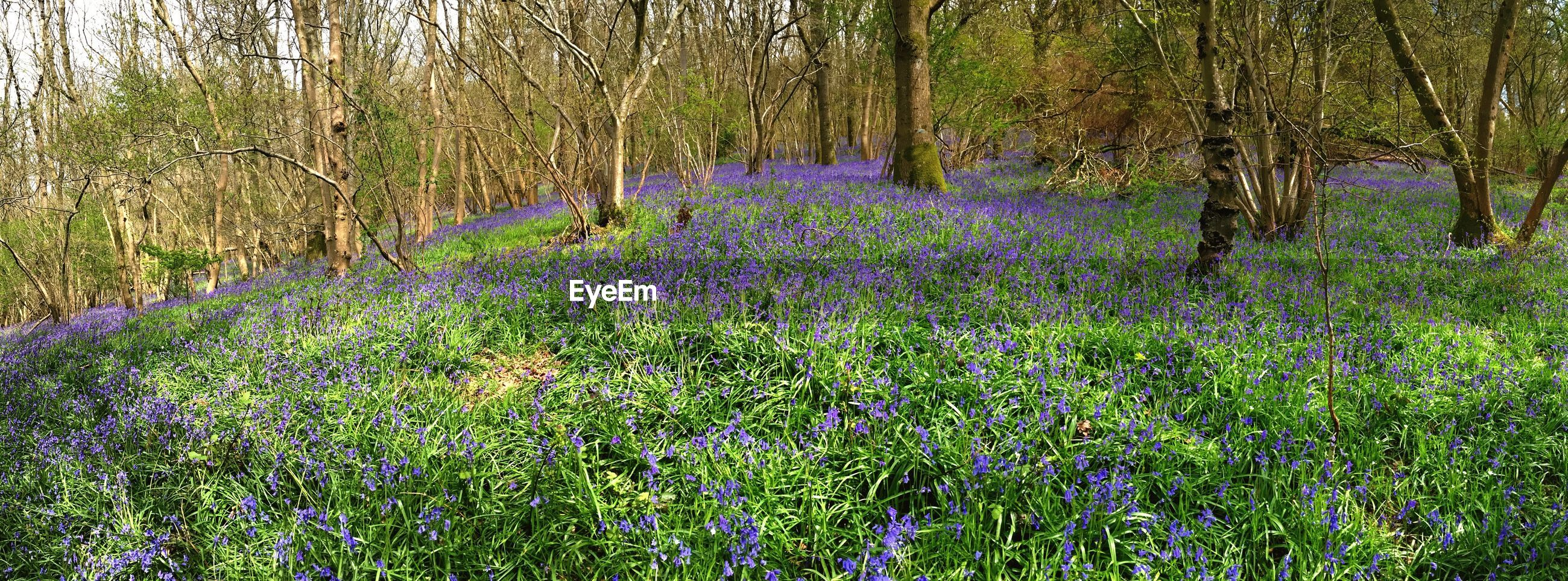 forest, flower, growth, tranquil scene, tree, beauty in nature, scenics, tranquility, nature, purple, woodland, freshness, fragility, non-urban scene, abundance, tree trunk, springtime, day, in bloom, wildflower, tree area, green color, uncultivated, no people, majestic, flowering, footpath