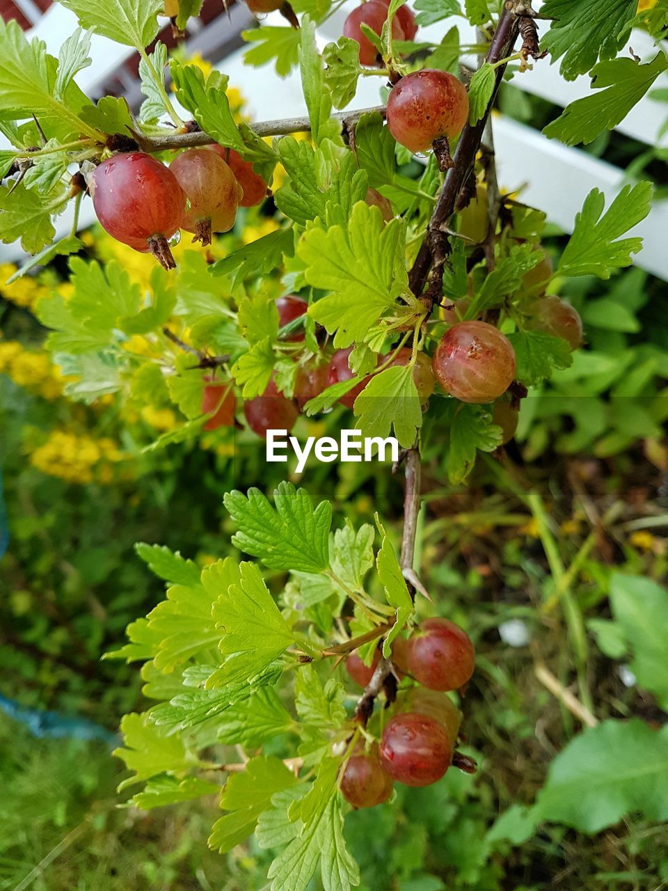growth, fruit, leaf, food and drink, nature, green color, day, food, growing, outdoors, freshness, plant, focus on foreground, beauty in nature, no people, tree, healthy eating, red, close-up, agriculture