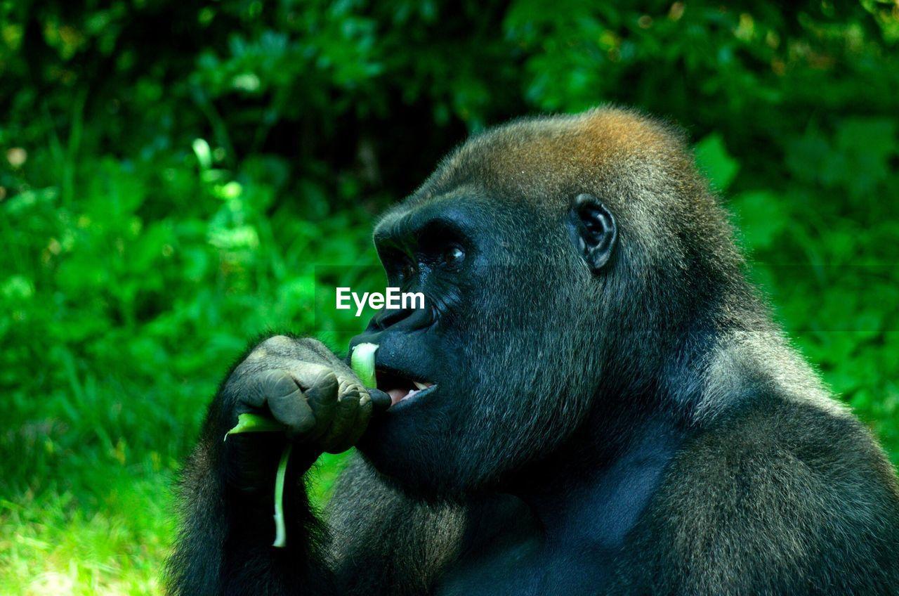 Close-up of a gorilla looking away