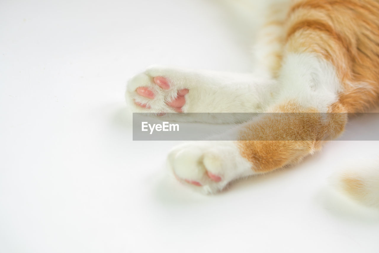 mammal, one animal, animal themes, animal, domestic, pets, domestic animals, vertebrate, cat, feline, domestic cat, close-up, indoors, selective focus, no people, paw, relaxation, animal leg, animal body part, white color, whisker