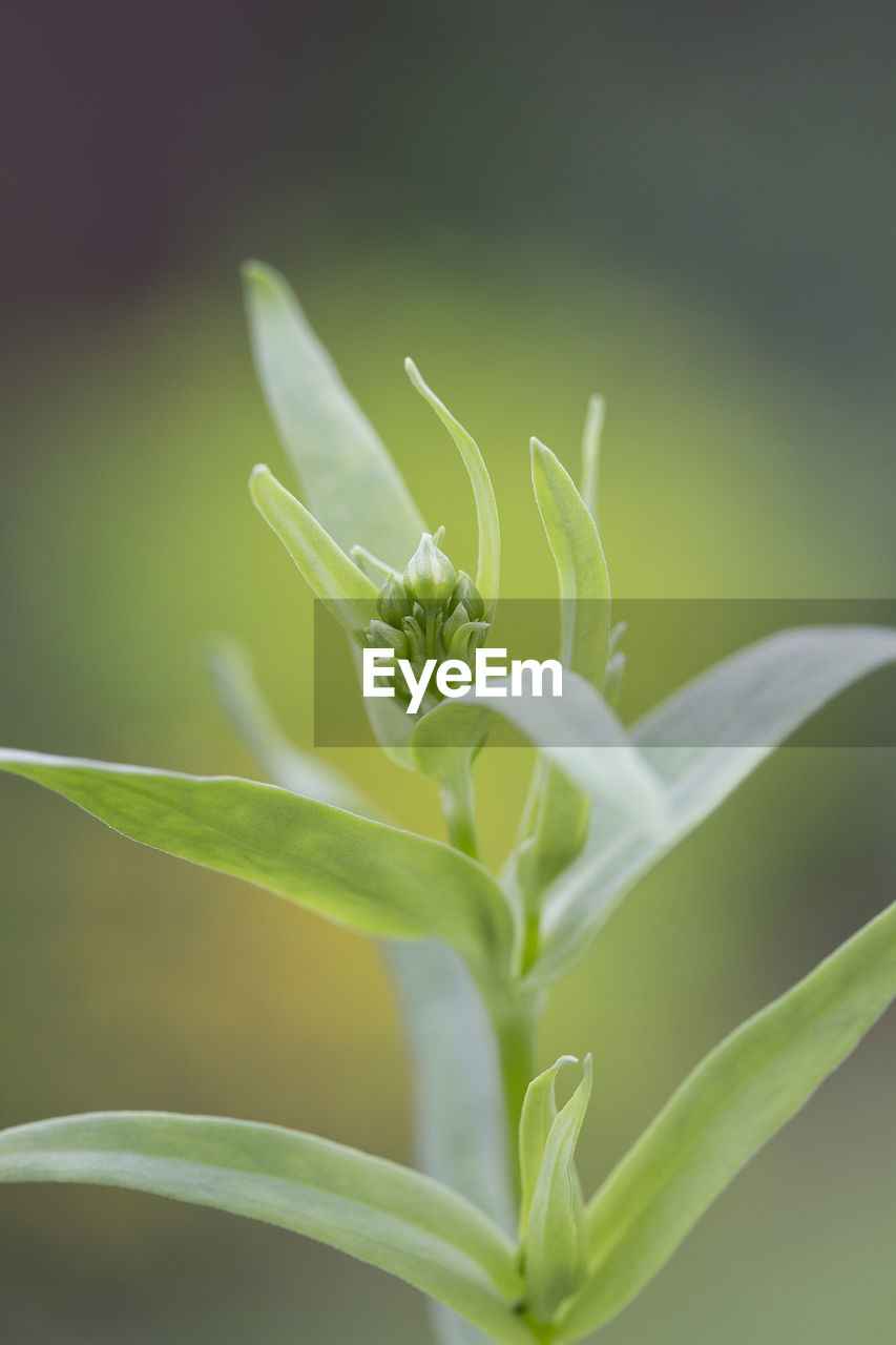 green color, growth, plant, plant part, leaf, close-up, beauty in nature, selective focus, nature, no people, focus on foreground, day, outdoors, freshness, fragility, vulnerability, tranquility, beginnings, vegetable, food and drink, blade of grass