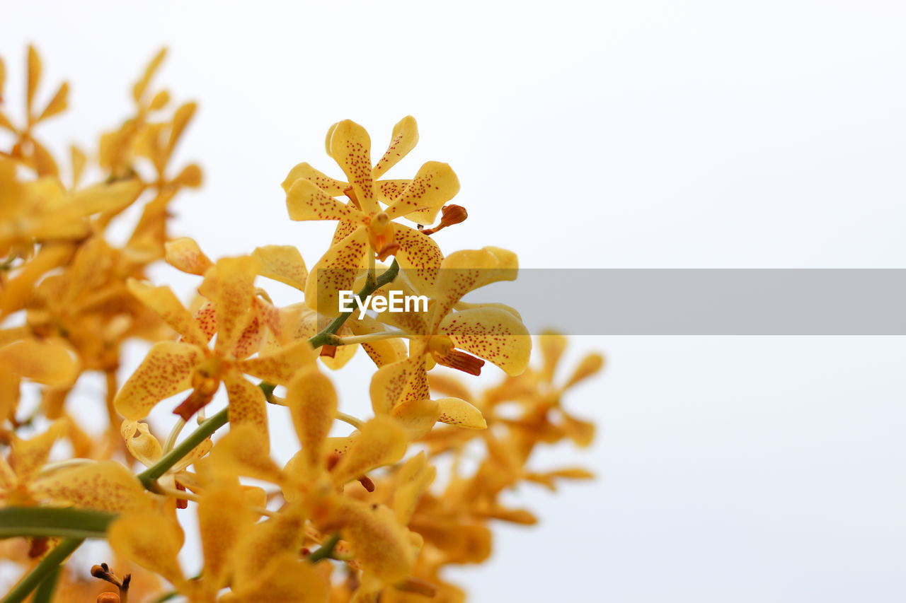 studio shot, white background, close-up, flower, no people, freshness, indoors, flowering plant, plant, selective focus, vulnerability, fragility, still life, copy space, yellow, food and drink, food, pollen, petal, nature, flower head