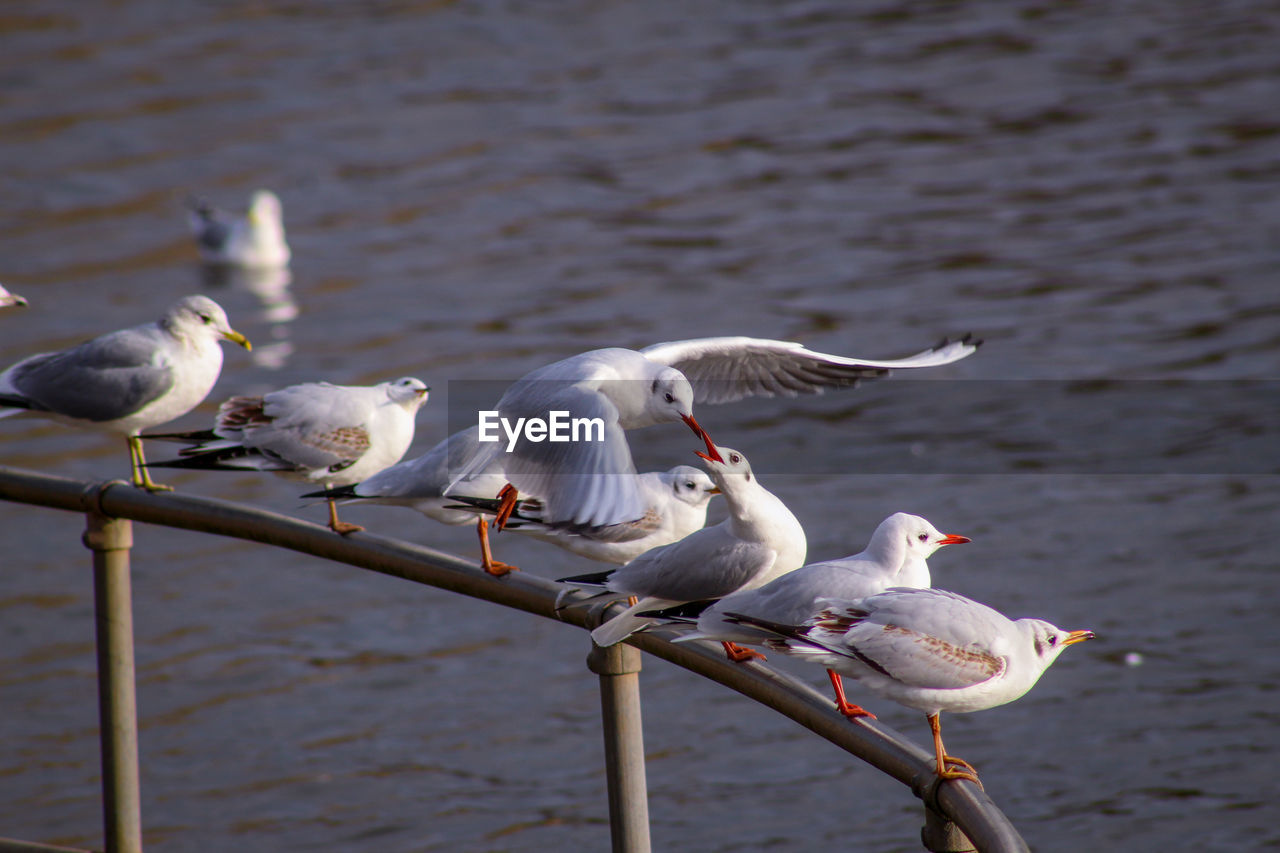 group of animals, bird, vertebrate, animal, animal themes, animal wildlife, animals in the wild, seagull, water, perching, medium group of animals, day, no people, nature, white color, sea bird, focus on foreground, outdoors, flock of birds
