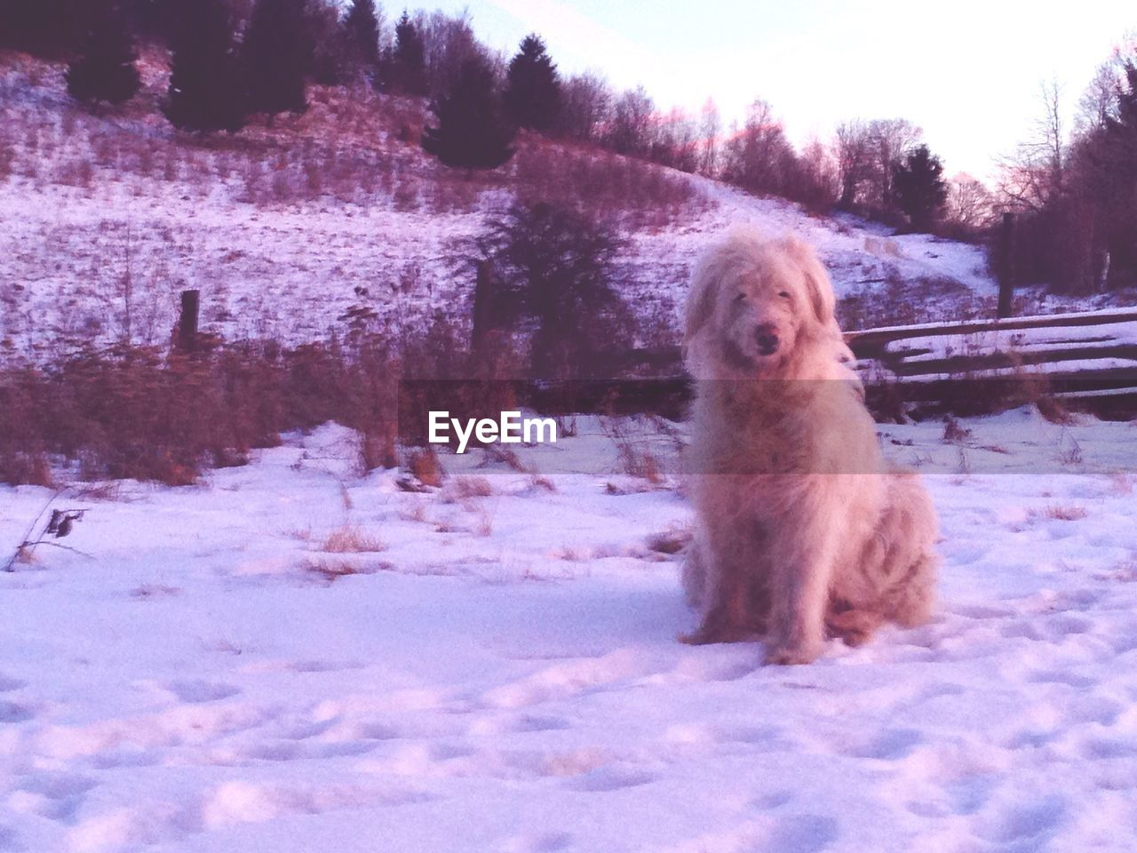 snow, winter, cold temperature, one animal, dog, animal themes, pets, weather, domestic animals, field, mammal, nature, white color, outdoors, tree, no people, day, snowing, beauty in nature, sky
