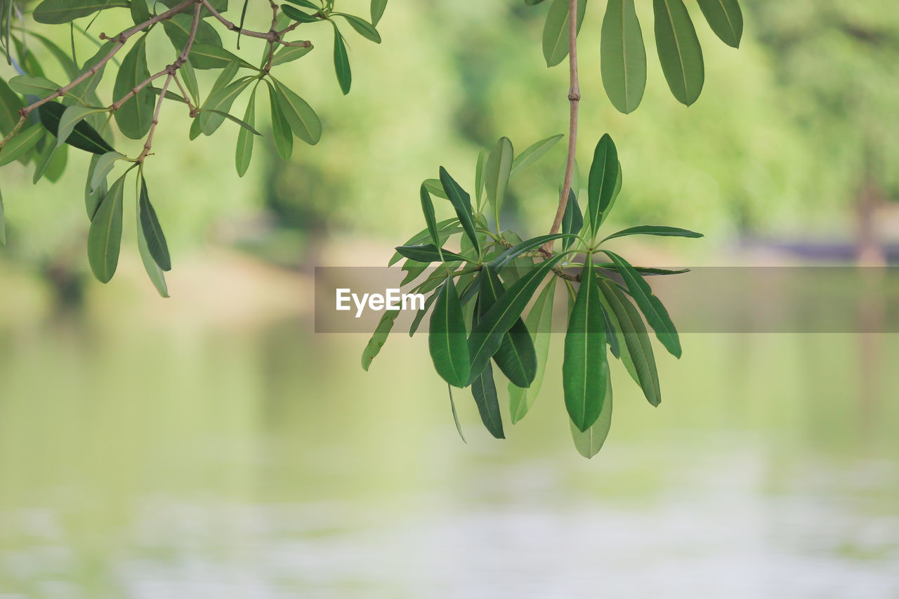 plant, leaf, plant part, focus on foreground, growth, water, beauty in nature, no people, nature, green color, day, close-up, tranquility, outdoors, freshness, fragility, vulnerability, selective focus, tree, leaves