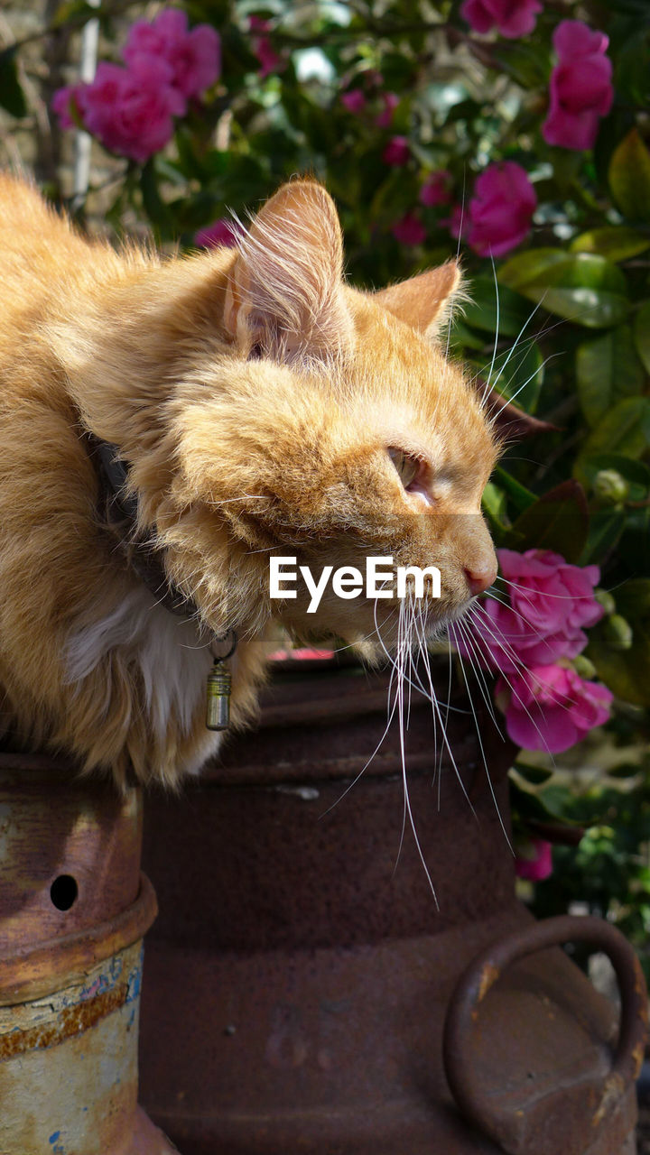 mammal, domestic, domestic animals, pets, cat, domestic cat, one animal, animal themes, feline, animal, vertebrate, no people, whisker, flowering plant, close-up, flower, day, plant, focus on foreground, nature, persian cat, animal head, ginger cat