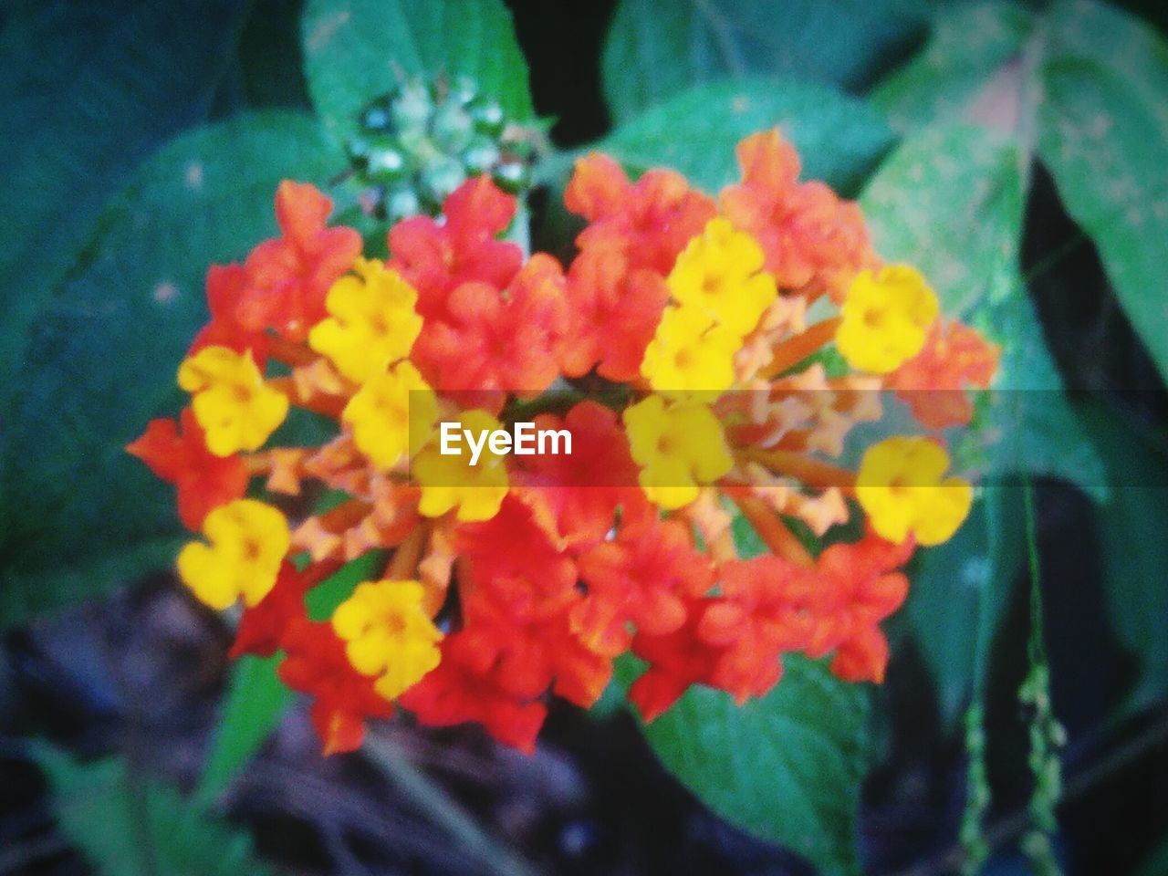 flower, beauty in nature, nature, yellow, fragility, freshness, plant, close-up, petal, growth, no people, marigold, outdoors, day, lantana camara, flower head, blooming