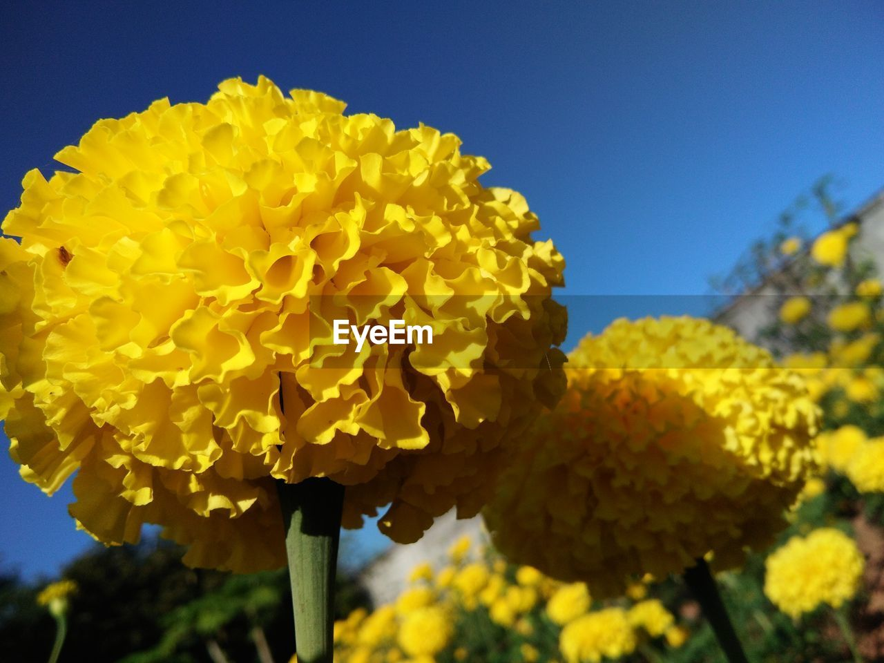 yellow, flower, fragility, nature, beauty in nature, growth, freshness, outdoors, no people, plant, day, petal, flower head, low angle view, close-up, blue, blooming, sky, clear sky