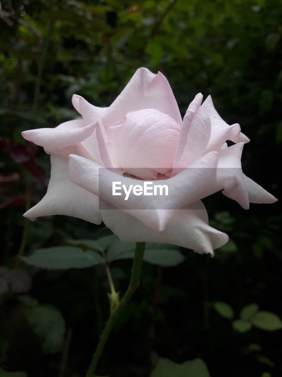 flower, petal, flower head, fragility, nature, beauty in nature, freshness, growth, white color, close-up, plant, rose - flower, blooming, outdoors, pink color, no people, day, focus on foreground