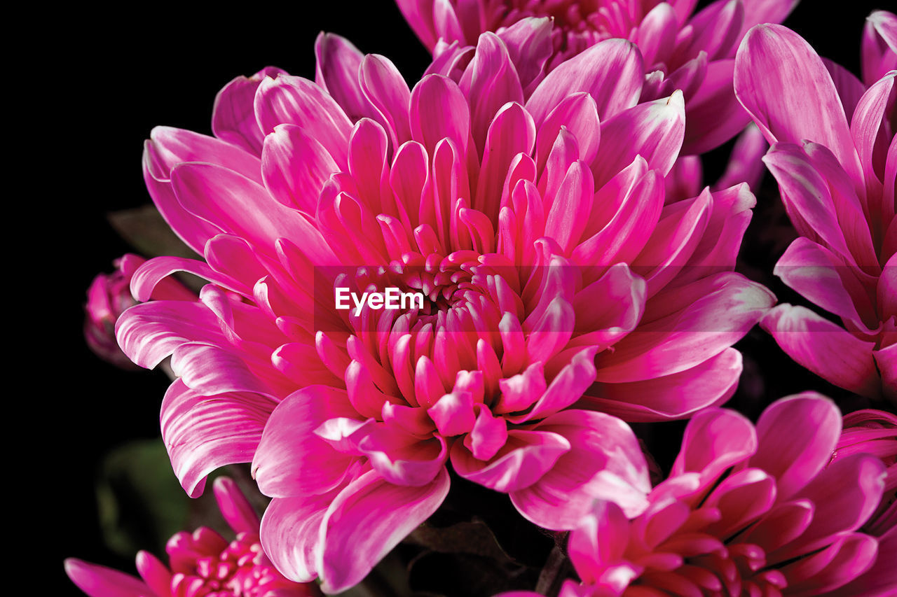 flowering plant, flower, fragility, vulnerability, petal, beauty in nature, flower head, freshness, plant, pink color, close-up, inflorescence, growth, nature, dahlia, no people, botany, focus on foreground, studio shot, black background, pollen, purple