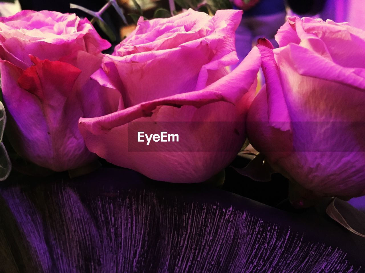 flower, pink color, purple, petal, freshness, fragility, close-up, flower head, beauty in nature, no people, nature, day, indoors