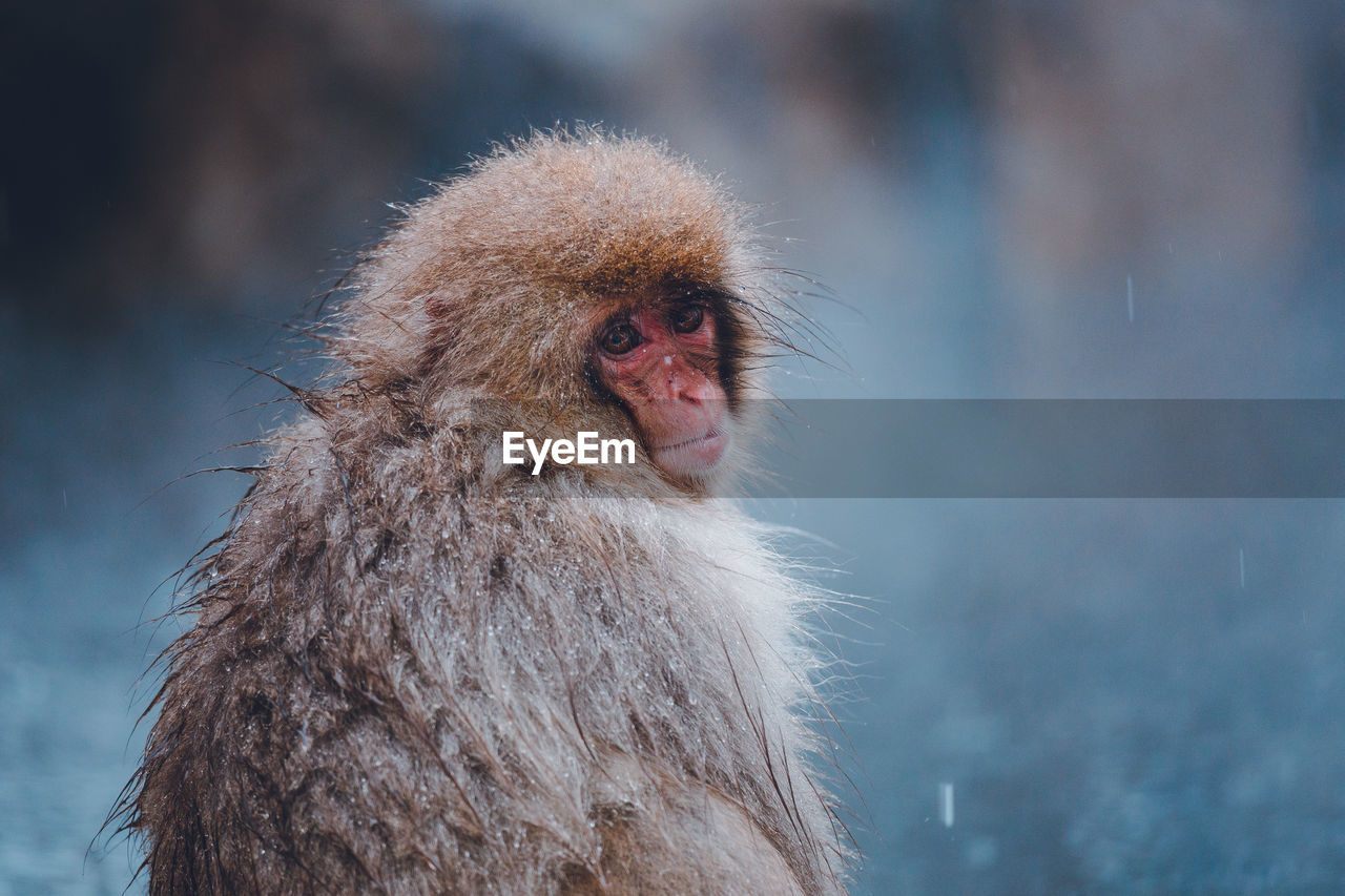 animal, animal themes, monkey, one animal, primate, animal wildlife, animals in the wild, mammal, japanese macaque, focus on foreground, vertebrate, day, looking, looking away, cold temperature, hair, no people, nature, animal body part, animal hair, animal head