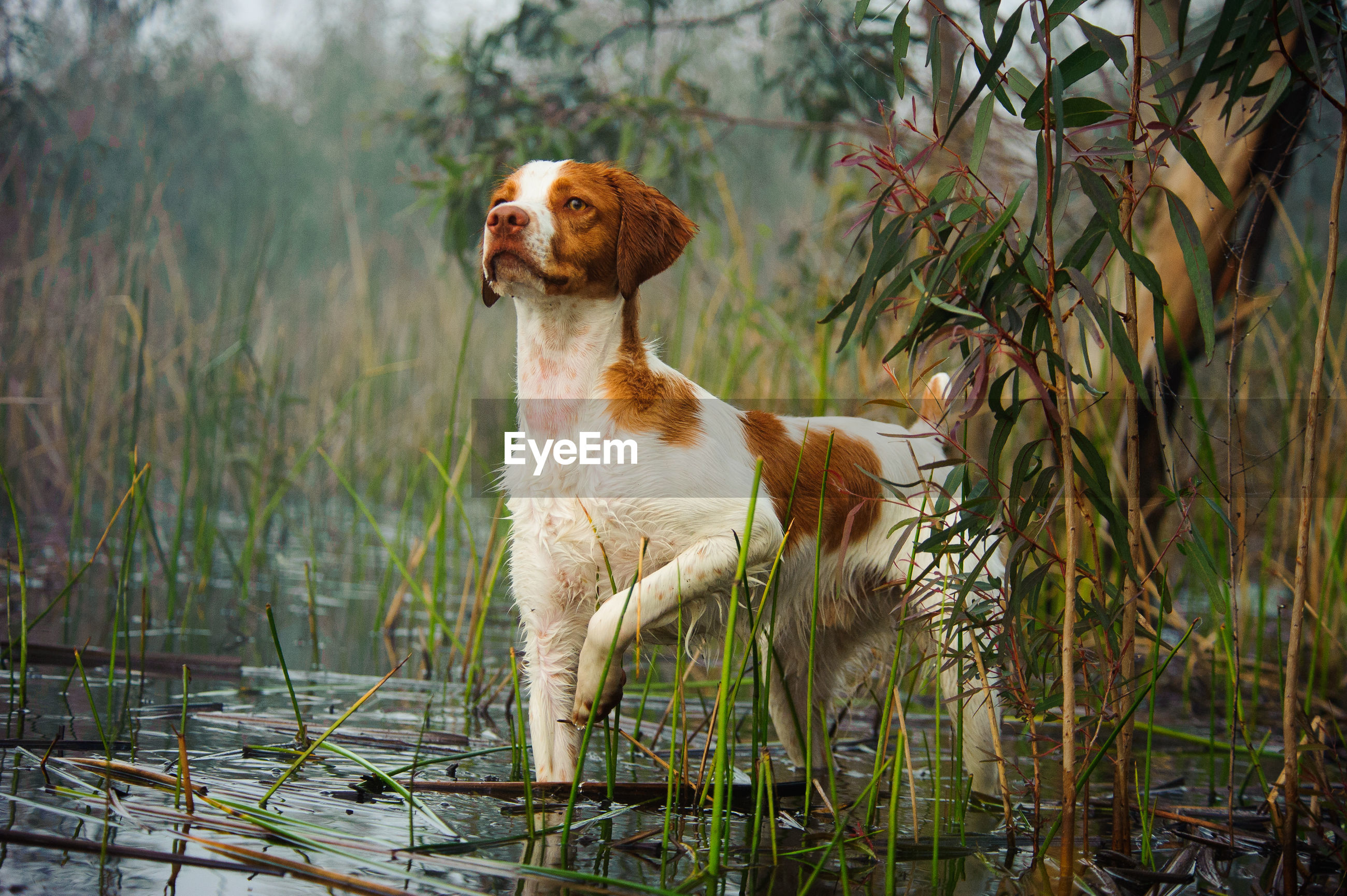 Alert dog in shallow water looking away