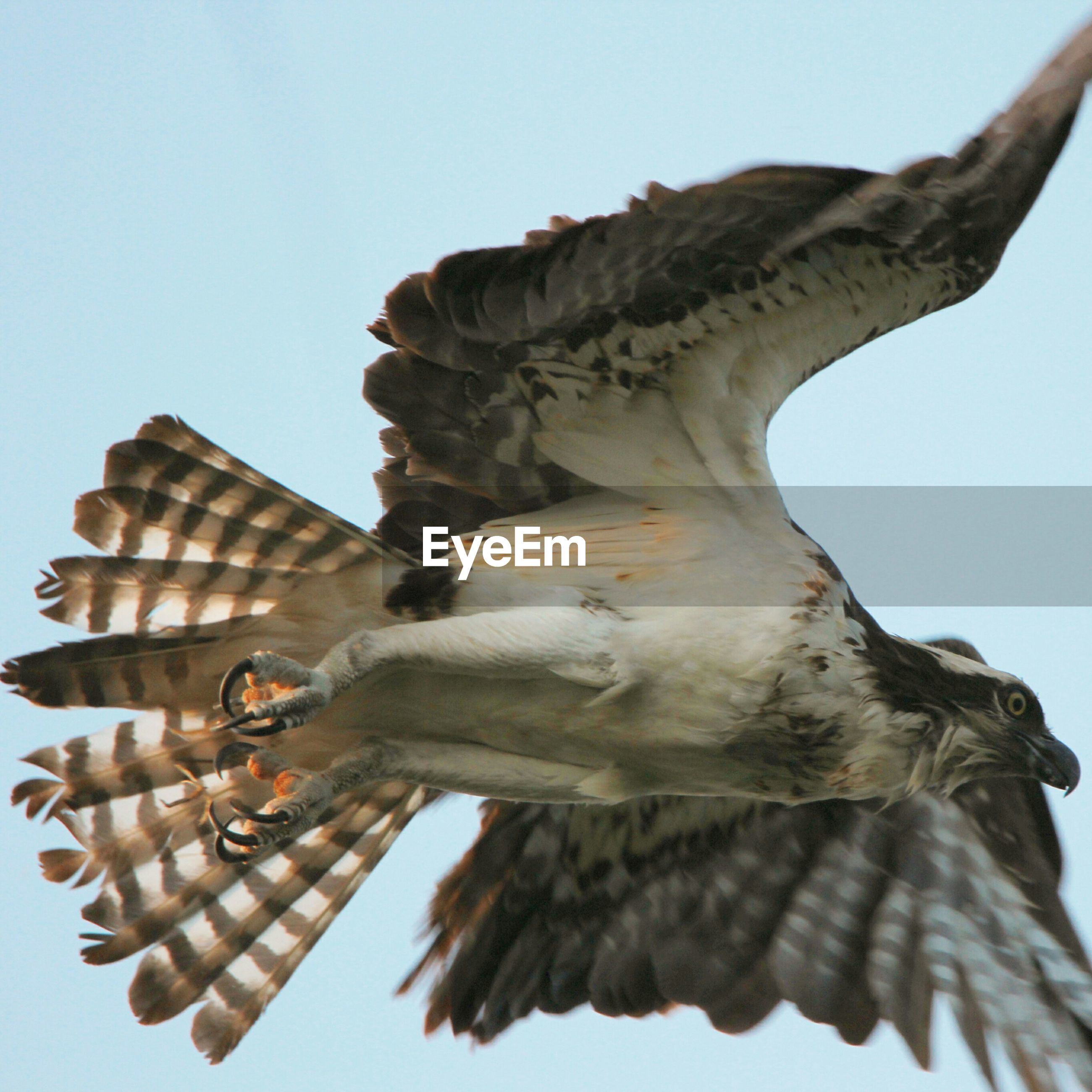 Low angle view of red-tailed hawk flying against sky