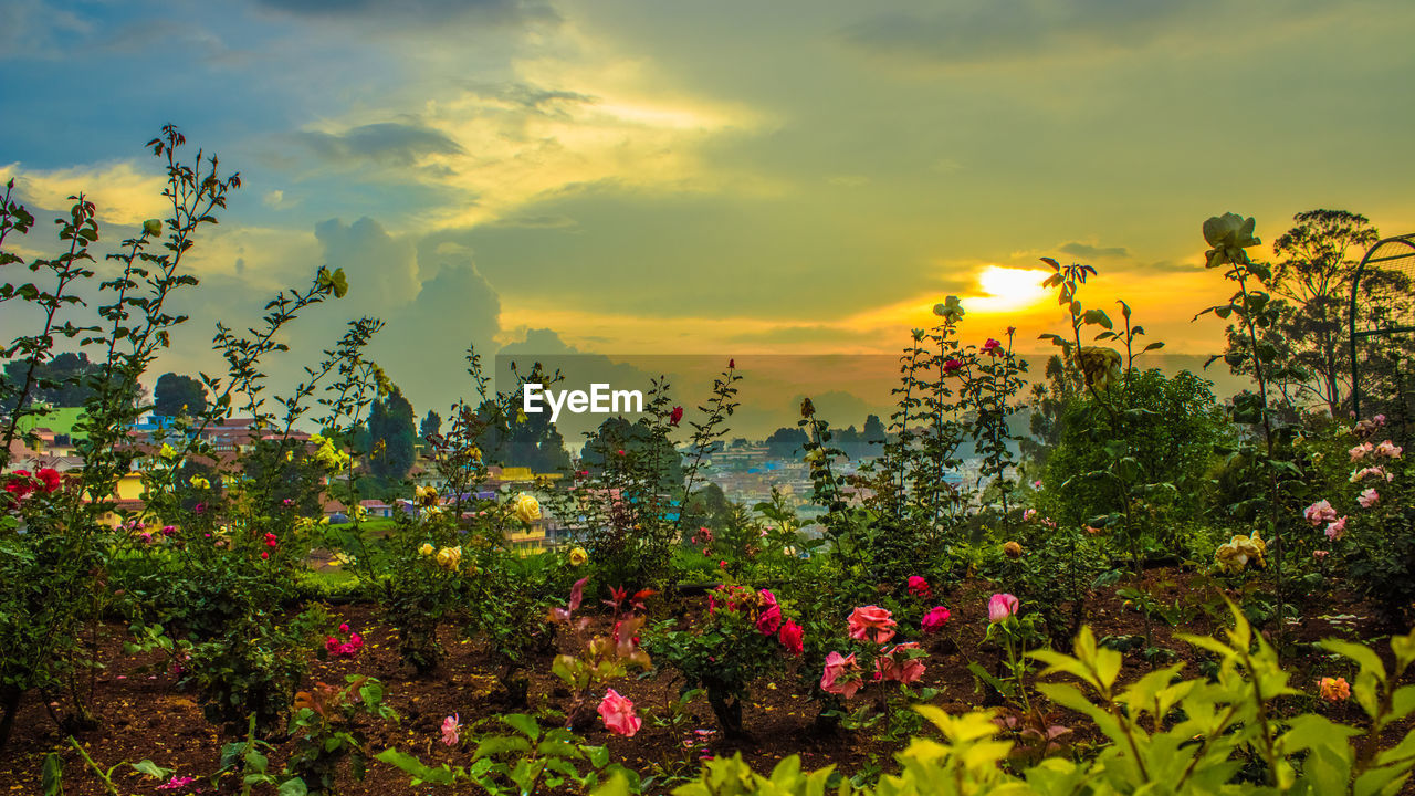 nature, beauty in nature, flower, growth, cloud - sky, plant, sky, no people, tree, sunset, tranquility, outdoors, scenics, tranquil scene, fragility, freshness, day