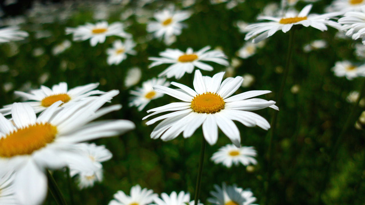 flowering plant, flower, fragility, freshness, vulnerability, plant, growth, beauty in nature, white color, petal, flower head, daisy, inflorescence, close-up, nature, focus on foreground, pollen, day, no people, outdoors