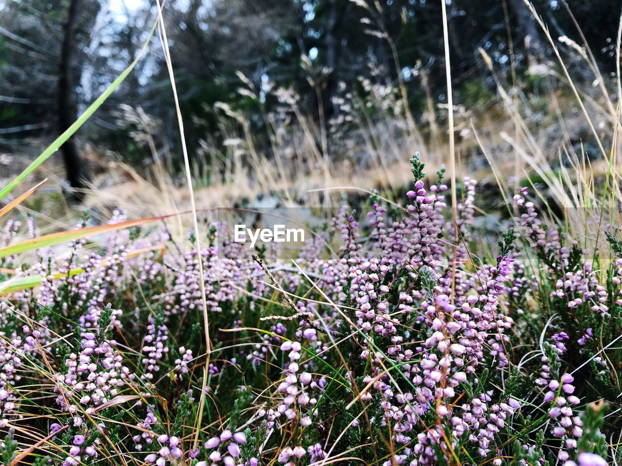 flower, plant, growth, flowering plant, land, fragility, field, beauty in nature, vulnerability, purple, freshness, day, nature, selective focus, focus on foreground, no people, close-up, tranquility, outdoors, lavender