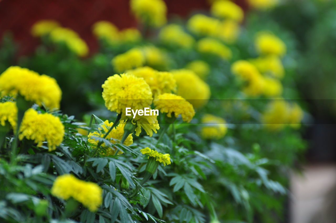 growth, plant, beauty in nature, selective focus, flower, yellow, flowering plant, close-up, vulnerability, green color, fragility, nature, freshness, no people, day, outdoors, flower head, inflorescence, focus on foreground, tranquility, lichen