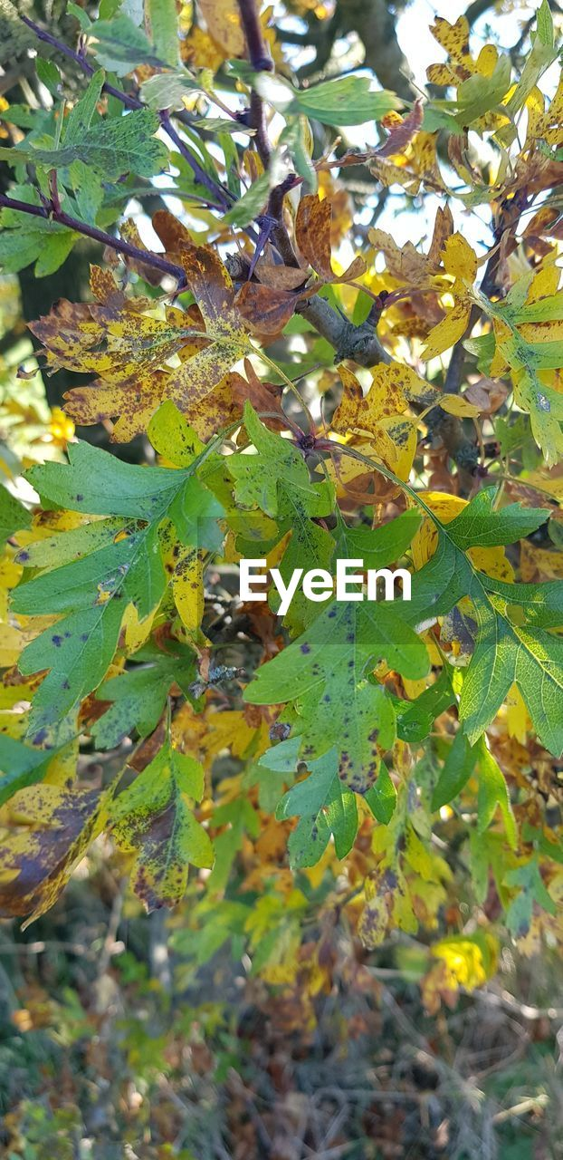 leaf, plant part, plant, growth, tree, day, green color, nature, branch, no people, autumn, outdoors, beauty in nature, close-up, selective focus, sunlight, leaves, land, animal, field