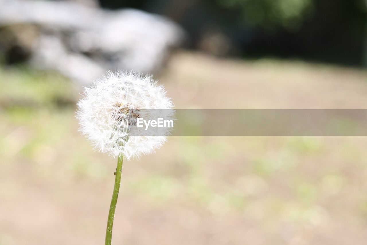 flower, growth, nature, dandelion, fragility, white color, plant, focus on foreground, close-up, softness, beauty in nature, day, freshness, flower head, outdoors, no people