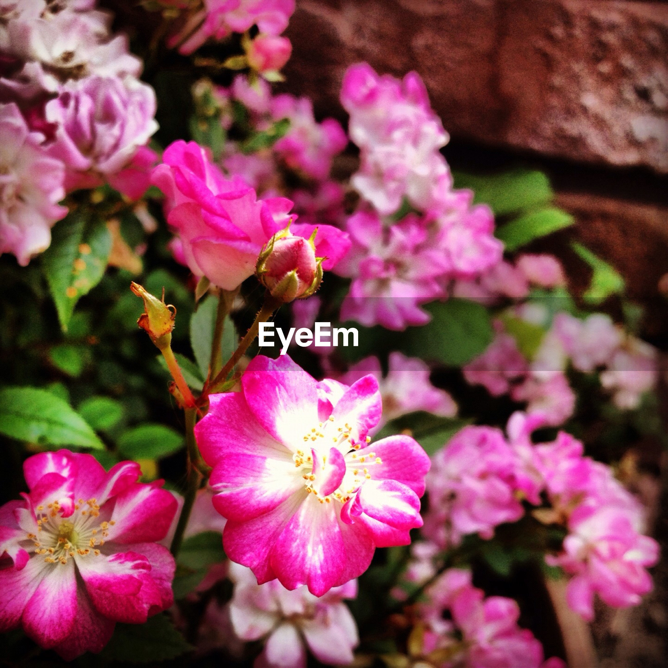 flower, freshness, fragility, petal, pink color, growth, beauty in nature, flower head, close-up, nature, blooming, focus on foreground, plant, in bloom, pink, blossom, day, outdoors, botany, no people