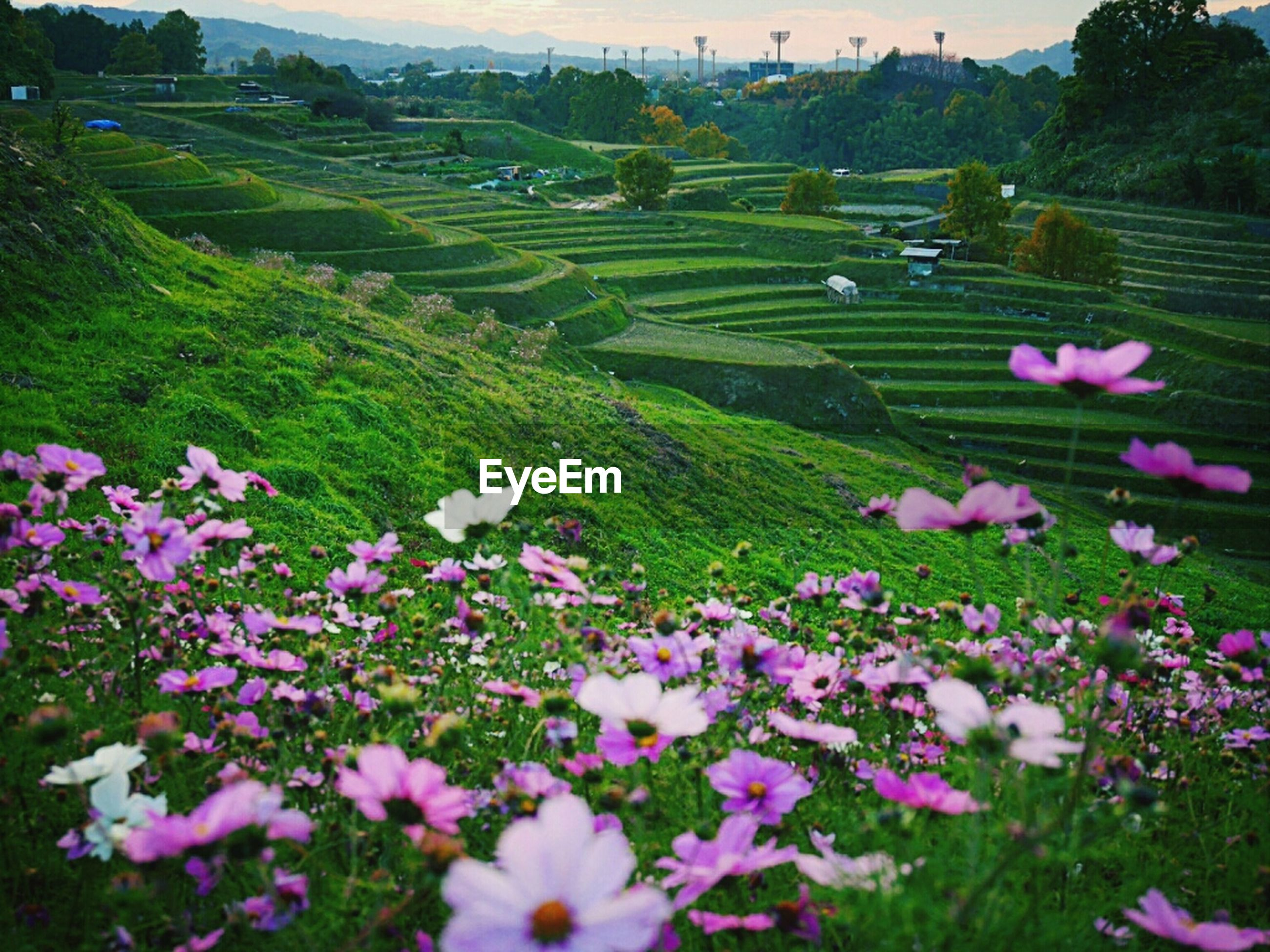 flower, freshness, beauty in nature, growth, fragility, blooming, nature, plant, tranquil scene, petal, field, landscape, tranquility, scenics, in bloom, high angle view, pink color, green color, day, outdoors