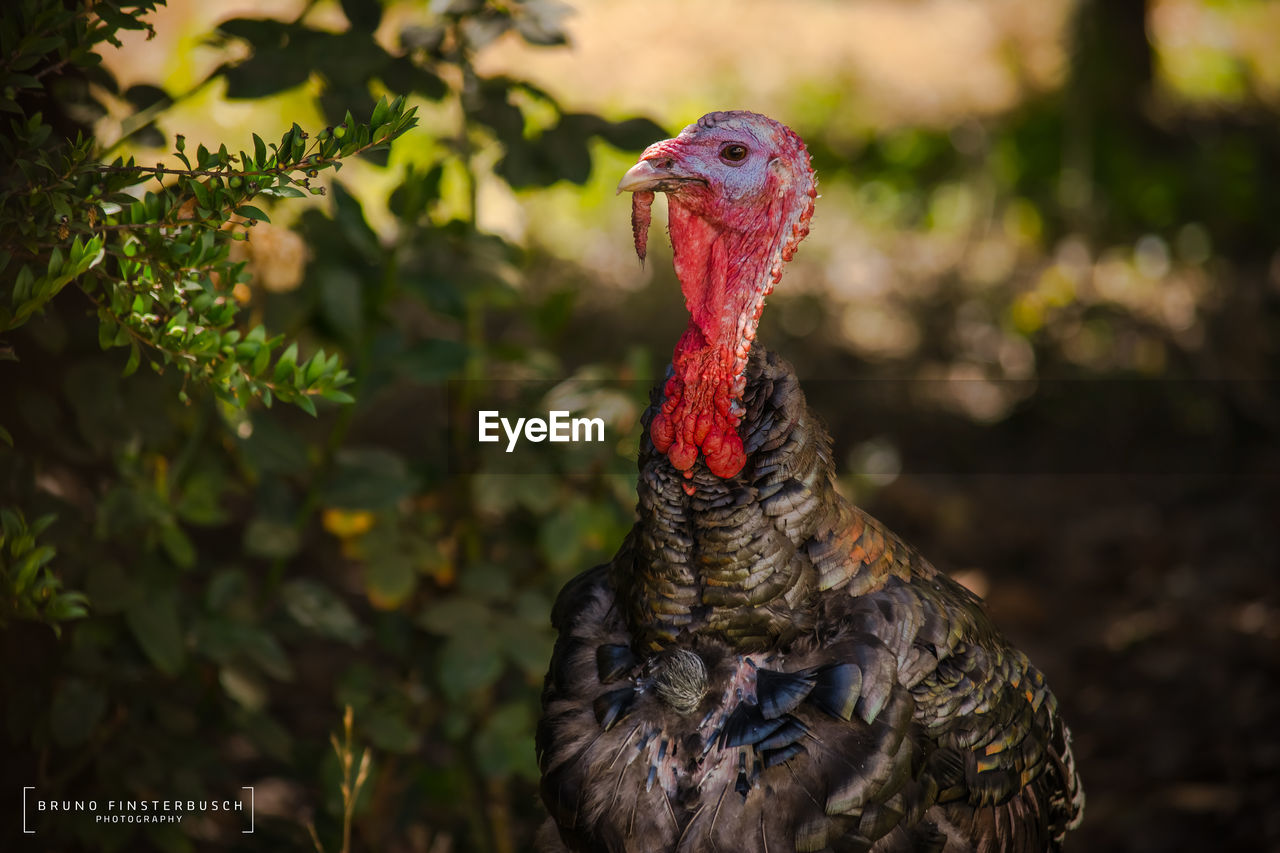 bird, chicken - bird, rooster, livestock, one animal, domestic animals, cockerel, animal crest, animal themes, focus on foreground, nature, no people, beak, outdoors, red, day, close-up