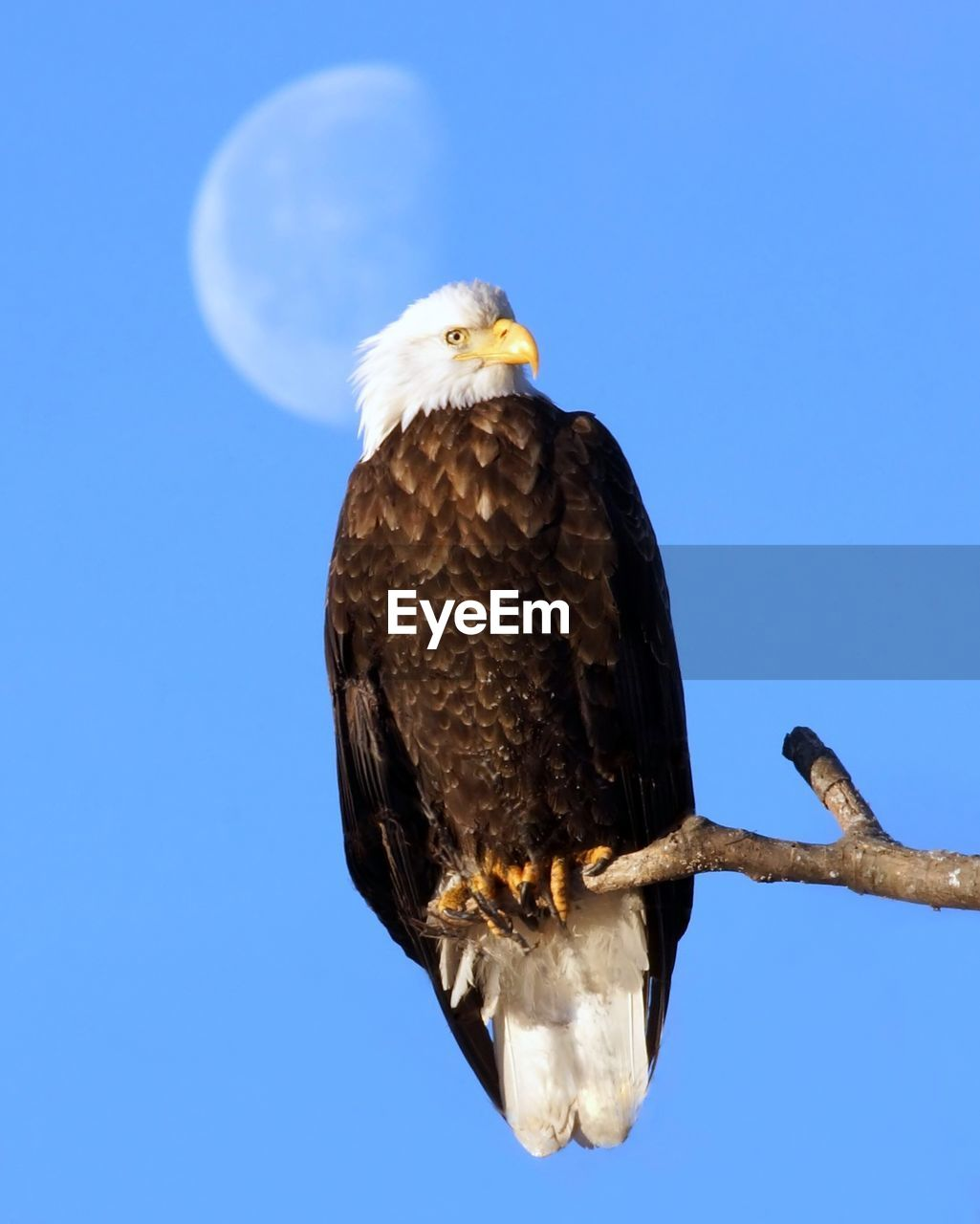 Low Angle View Of An Eagle Against Blue Sky