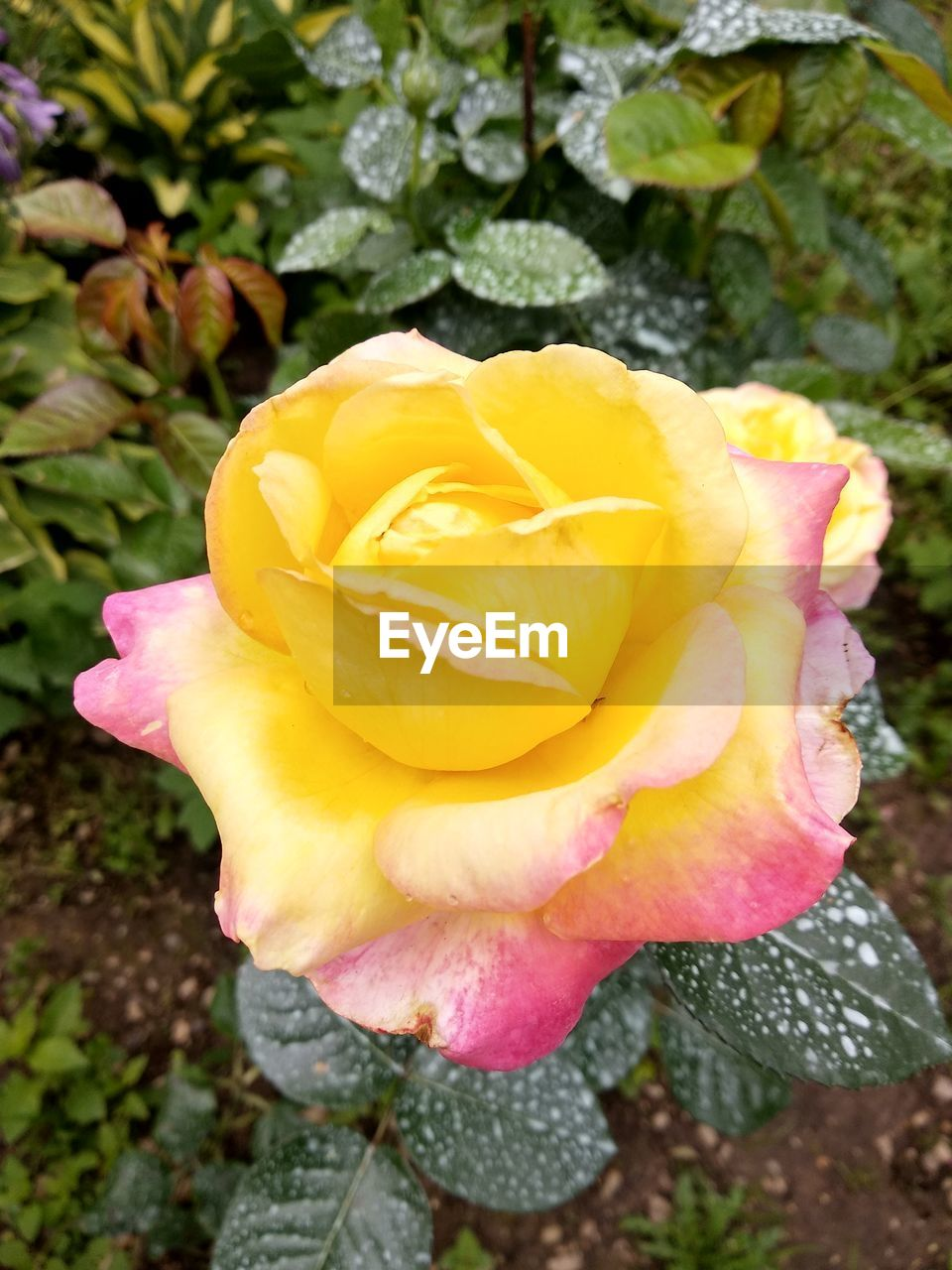 flower, vulnerability, flowering plant, plant, fragility, beauty in nature, petal, inflorescence, flower head, close-up, growth, freshness, nature, day, yellow, rose, no people, pink color, outdoors, rose - flower, springtime