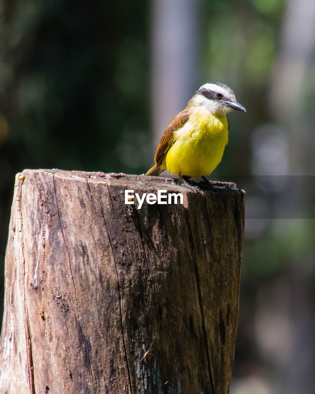 animals in the wild, one animal, animal themes, animal wildlife, perching, bird, focus on foreground, wood - material, day, outdoors, no people, yellow, close-up, nature, beauty in nature, great tit