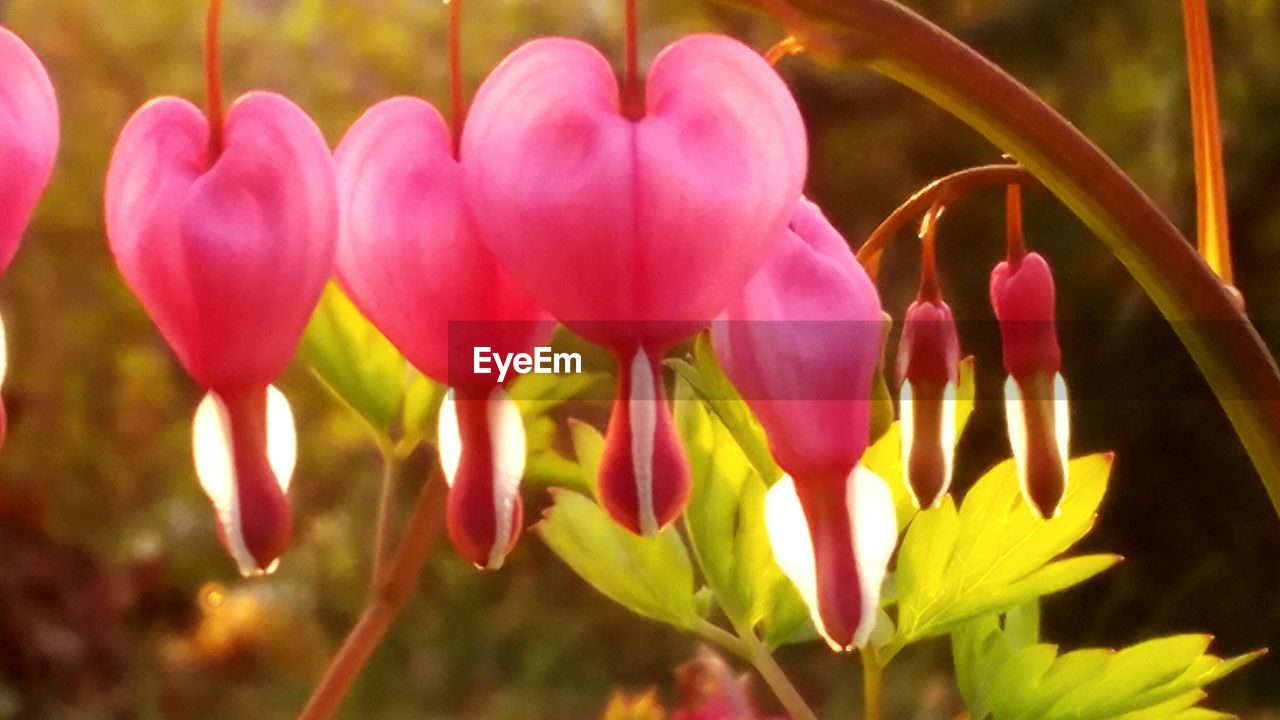 flower, petal, fragility, beauty in nature, growth, nature, freshness, flower head, plant, day, focus on foreground, pink color, close-up, outdoors, blooming, no people, springtime