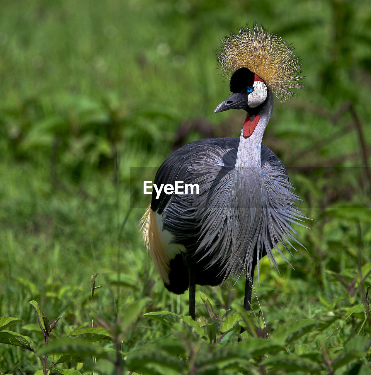 Close-Up Of Grey Crowned Crane On Grassy Field