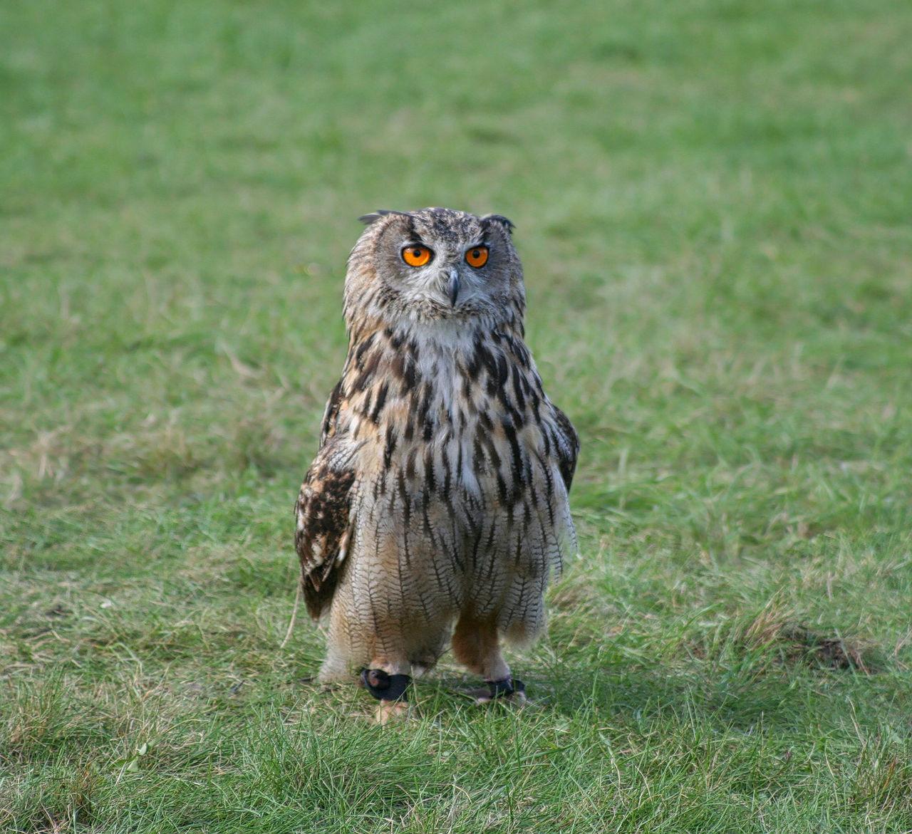 Portrait Of Eagle Owl Perching On Grassy Field