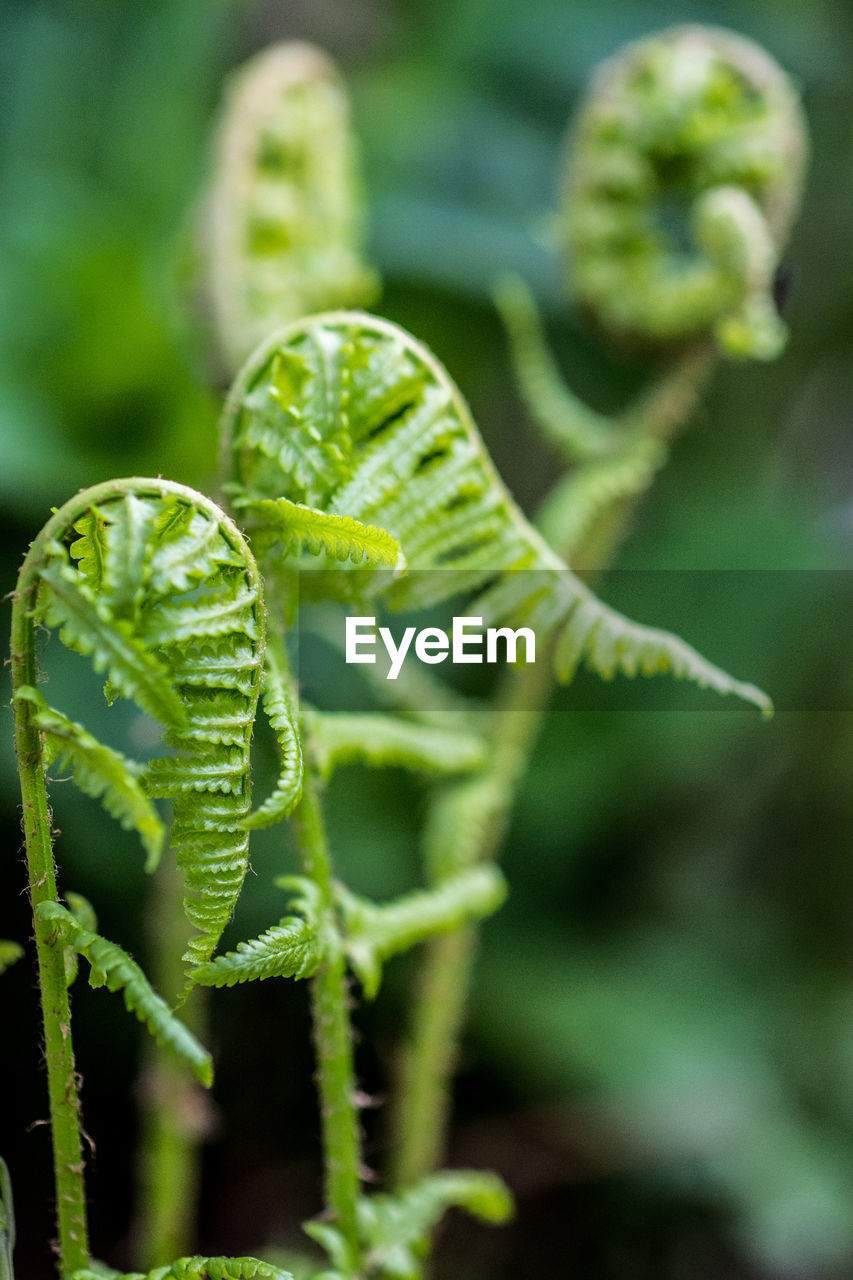 green color, plant, growth, leaf, beauty in nature, plant part, close-up, no people, nature, focus on foreground, day, selective focus, fern, fragility, vulnerability, outdoors, freshness, tendril, beginnings, tranquility, spiky