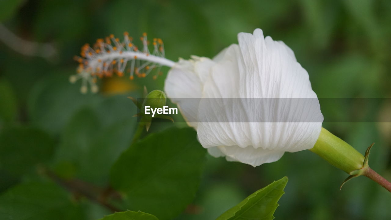 beauty in nature, plant, flower, flowering plant, fragility, vulnerability, growth, freshness, close-up, petal, white color, inflorescence, flower head, plant part, focus on foreground, leaf, nature, no people, day, softness, pollen