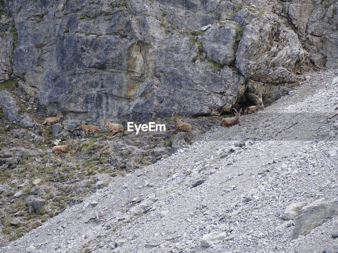 Ibexes Relaxing On Rocky Mountain