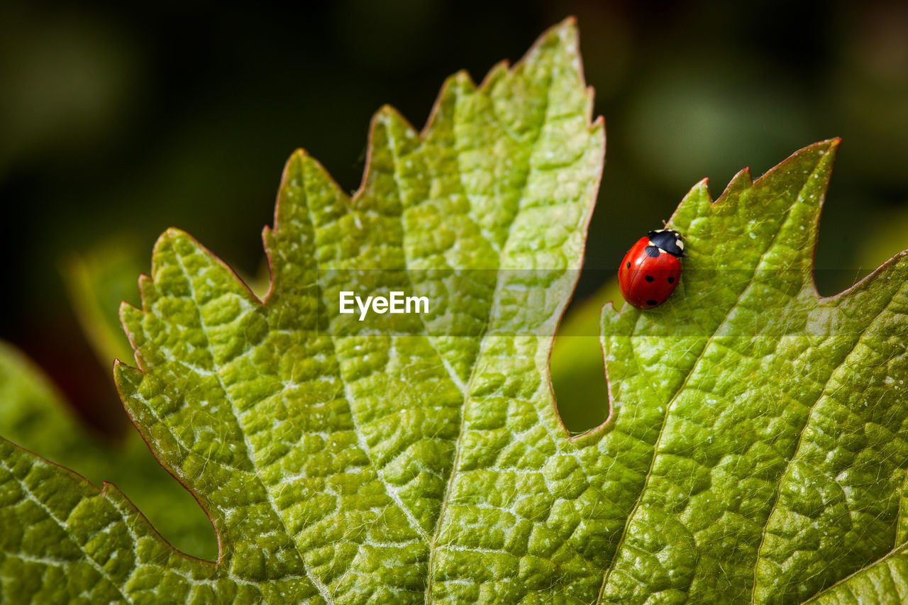 green color, insect, animal wildlife, invertebrate, ladybug, animal themes, animal, animals in the wild, one animal, close-up, beetle, focus on foreground, leaf, plant part, no people, nature, day, red, plant, spotted