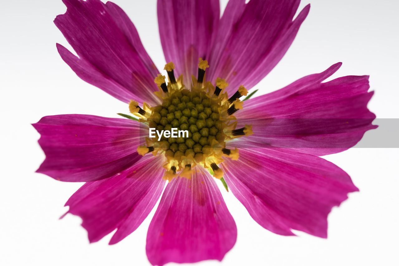 flower, flowering plant, vulnerability, petal, freshness, fragility, beauty in nature, studio shot, close-up, inflorescence, flower head, white background, plant, growth, purple, pollen, nature, no people, pink color, sepal