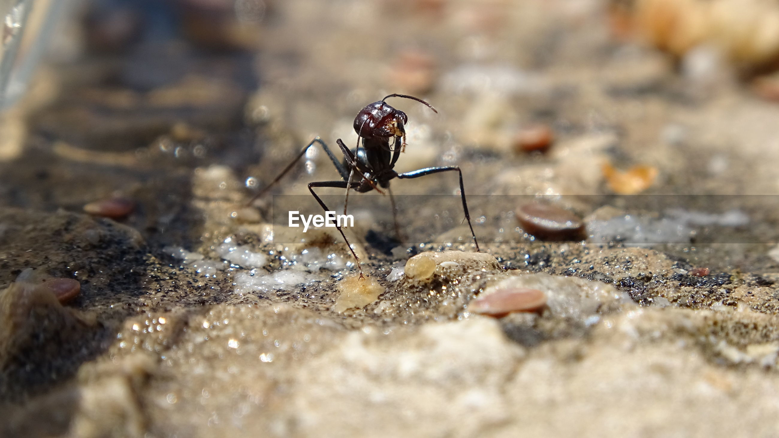 Ant cleaning herself after eating