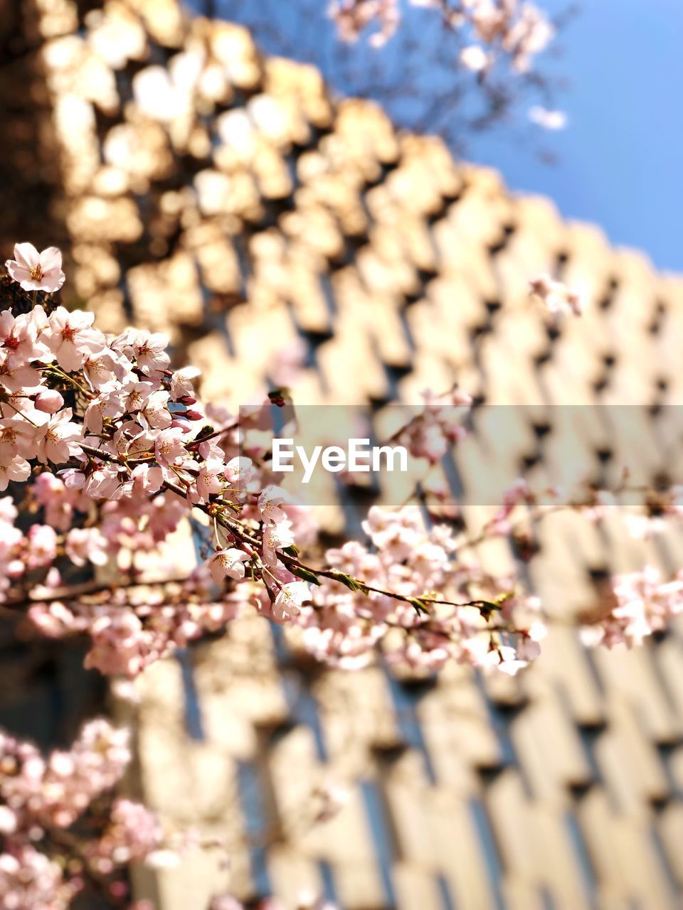 flower, plant, flowering plant, fragility, beauty in nature, growth, freshness, selective focus, nature, vulnerability, springtime, close-up, day, no people, blossom, sunlight, tree, branch, cherry blossom, outdoors, flower head, cherry tree, spring