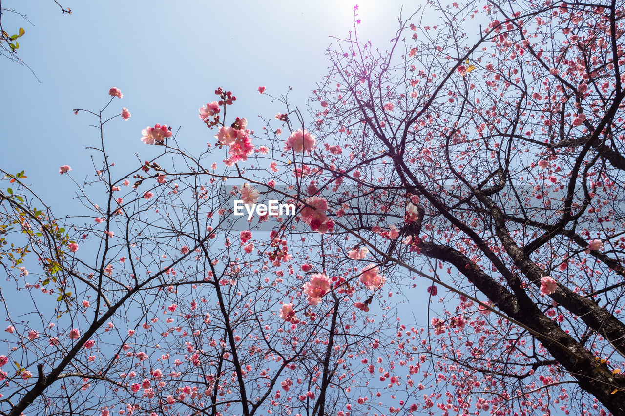 tree, plant, branch, sky, growth, flower, low angle view, flowering plant, beauty in nature, nature, blossom, no people, freshness, day, pink color, springtime, fragility, outdoors, tranquility, cherry blossom, cherry tree, spring