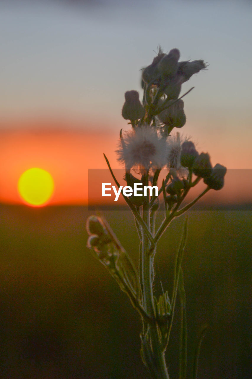 flower, growth, plant, no people, fragility, focus on foreground, nature, beauty in nature, close-up, sunset, petal, flower head, outdoors, sky, freshness, day