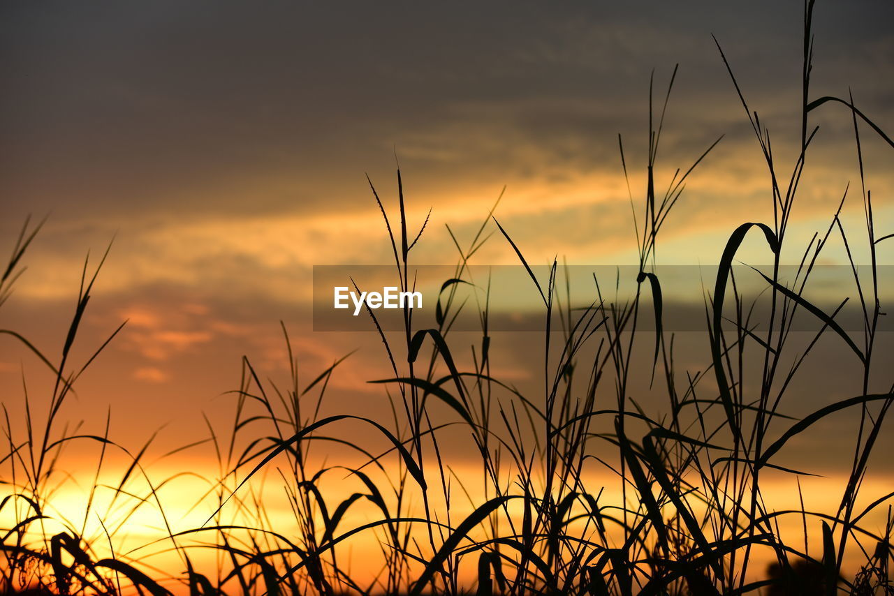 sunset, beauty in nature, sky, plant, growth, tranquility, orange color, scenics - nature, cloud - sky, no people, agriculture, silhouette, nature, tranquil scene, crop, field, close-up, land, idyllic, outdoors, romantic sky
