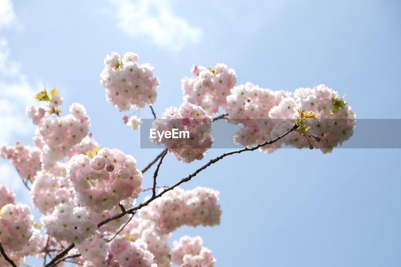 flowering plant, flower, fragility, vulnerability, freshness, beauty in nature, plant, blossom, sky, springtime, pink color, growth, tree, nature, day, close-up, low angle view, cherry blossom, no people, branch, flower head, cherry tree, outdoors, bunch of flowers