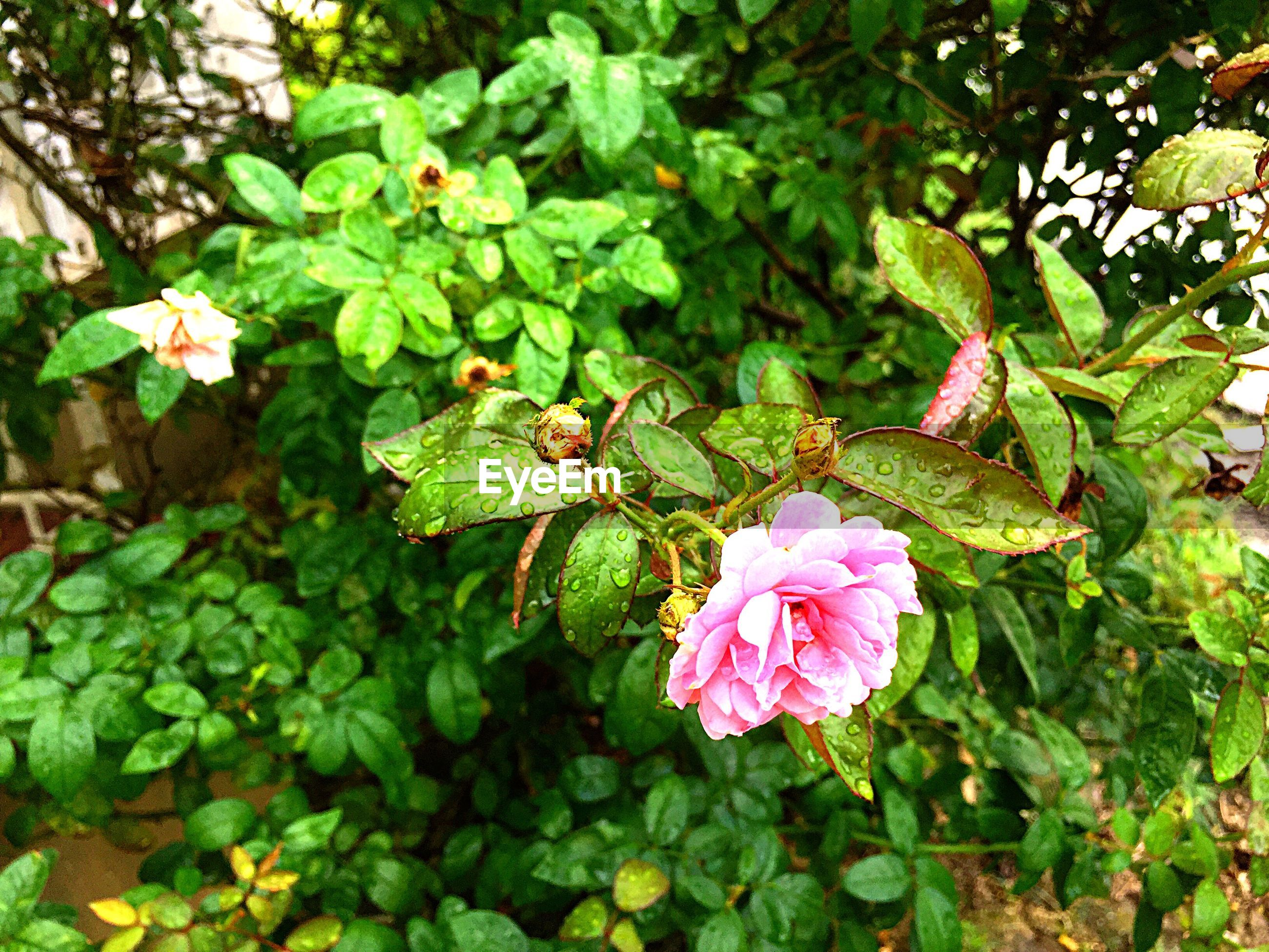 flower, nature, freshness, fragility, beauty in nature, pink color, growth, petal, plant, green color, leaf, flower head, blooming, day, close-up, pollen, outdoors, no people
