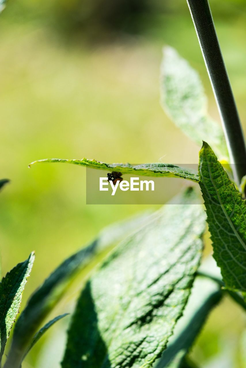 one animal, leaf, animal themes, insect, animals in the wild, close-up, green color, animal wildlife, focus on foreground, no people, plant, outdoors, day, nature, growth, full length, beauty in nature, fragility