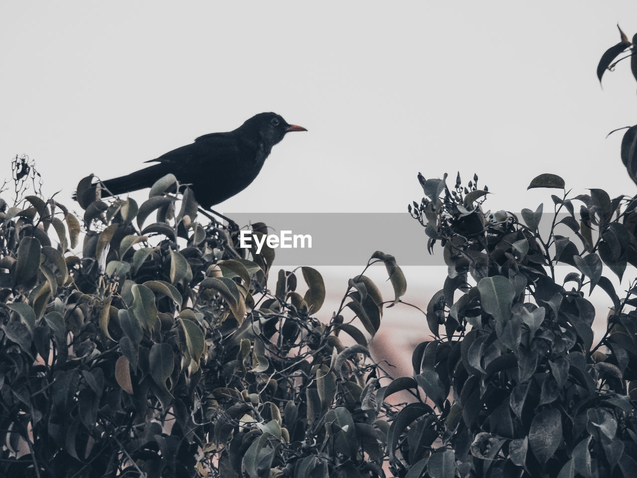 bird, animal themes, animal, vertebrate, animals in the wild, animal wildlife, sky, perching, plant, clear sky, nature, low angle view, no people, group of animals, day, black color, outdoors, growth, leaf, blackbird