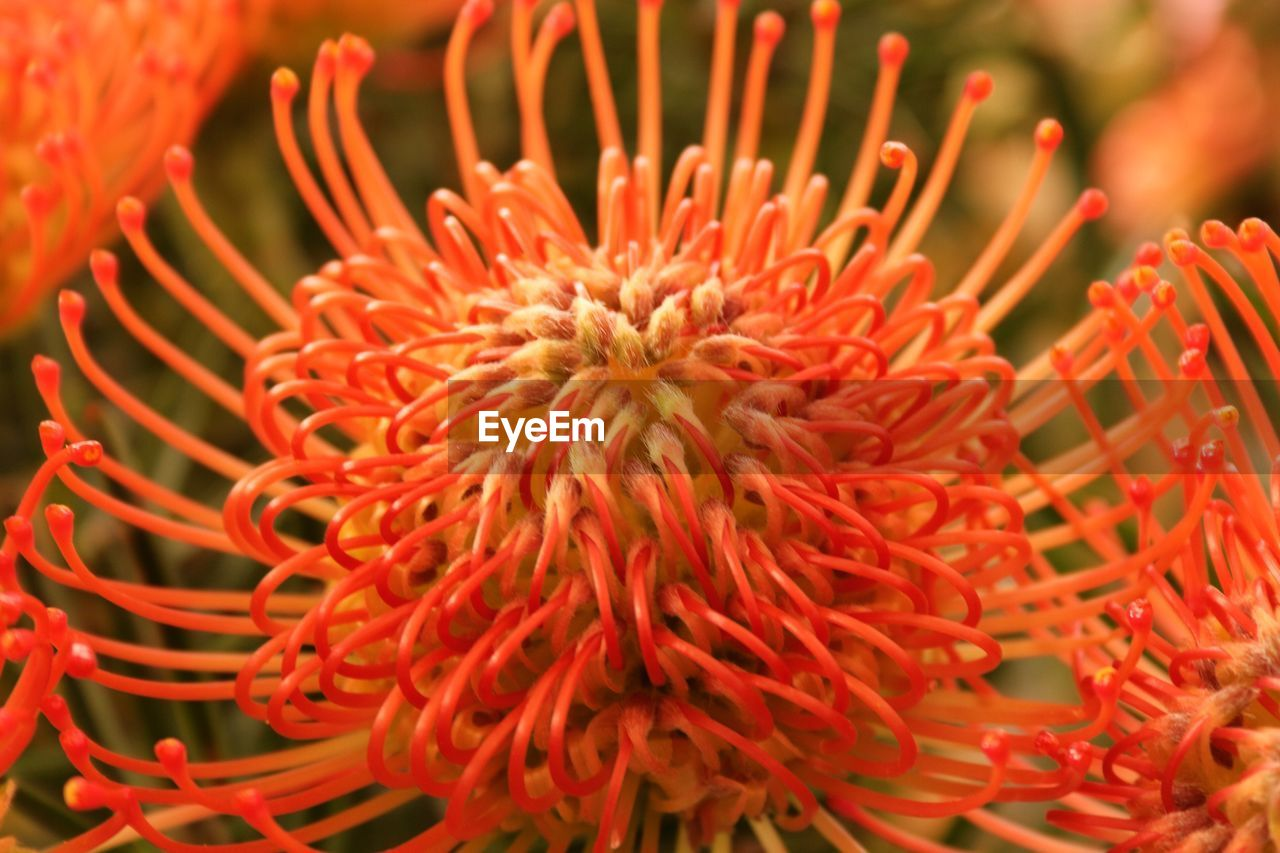 freshness, beauty in nature, flowering plant, close-up, flower, red, fragility, growth, plant, flower head, vulnerability, petal, no people, inflorescence, nature, orange color, pollen, day, outdoors, botany
