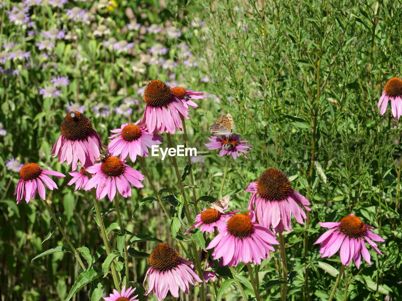 flowering plant, flower, plant, beauty in nature, fragility, coneflower, growth, freshness, vulnerability, petal, flower head, pink color, inflorescence, nature, close-up, day, field, land, pollen, focus on foreground, no people, purple
