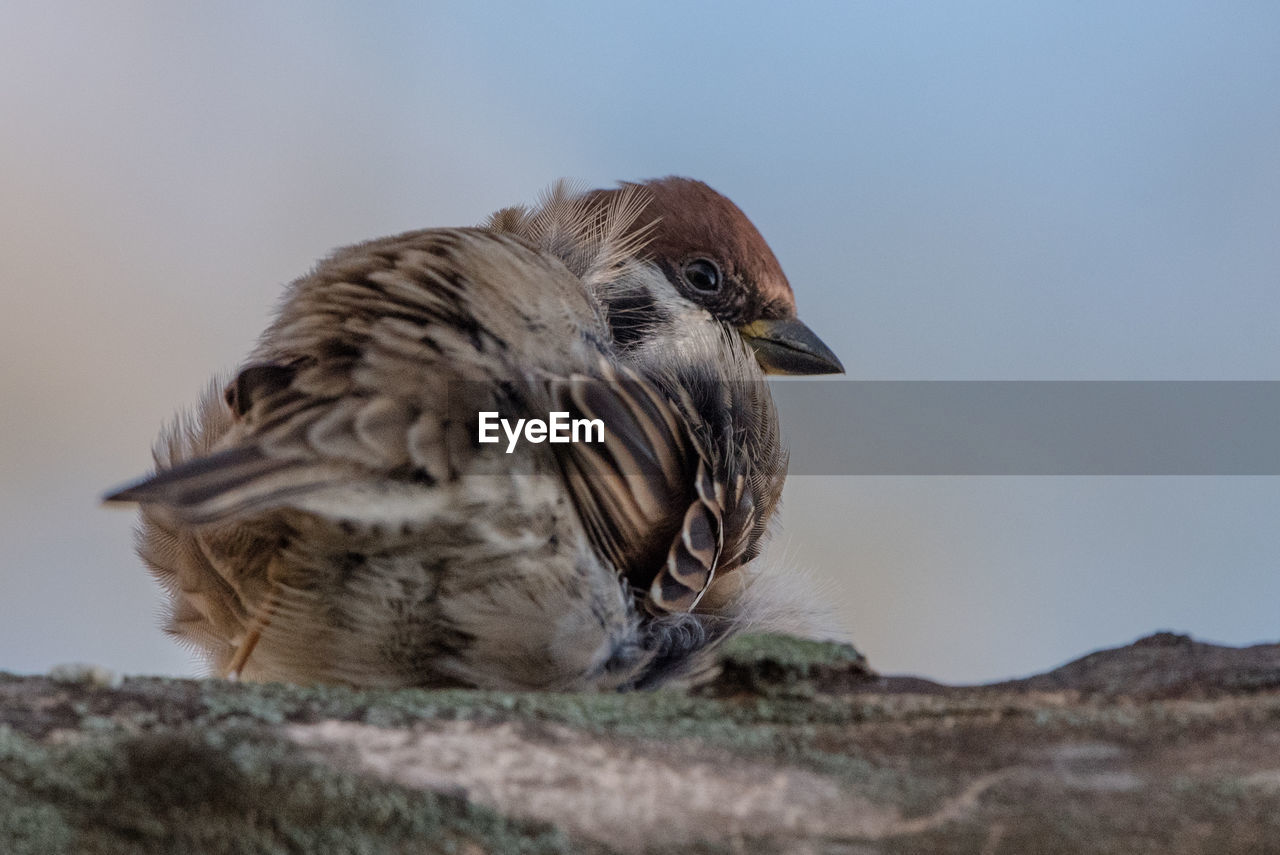 bird, vertebrate, animals in the wild, animal themes, animal, animal wildlife, one animal, sparrow, nature, no people, day, close-up, focus on foreground, perching, selective focus, outdoors, young animal, sky, beak, young bird